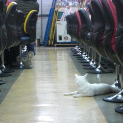 【猫店長】まったりと店内パトロールする、ちー店長(ネッコ)