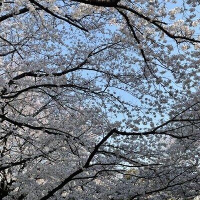 【パチンコ脳】桜といえば…思いつくものは…